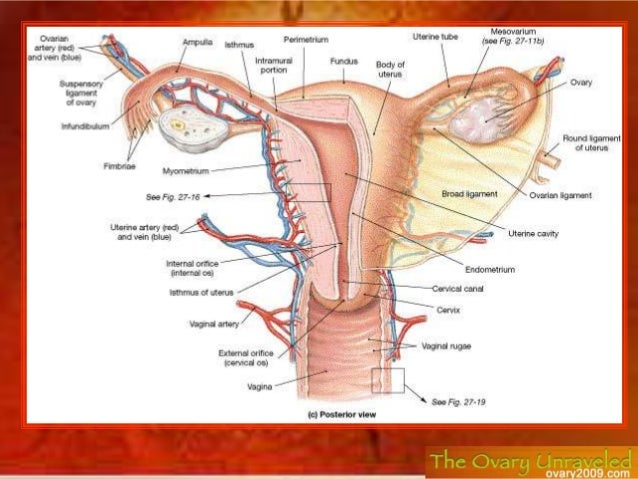 Diagram Of Female Internal Reproductive System Electrical Work