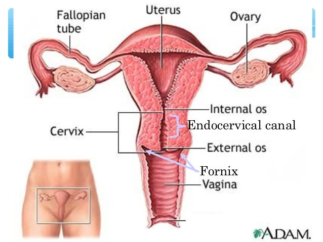 female reproductive system, Cephalic Vein