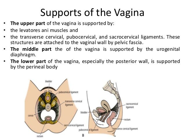• The ovaries are surrounded by a thin fibrous capsule, the tunica albuginea. This capsule is covered externally by a modi...