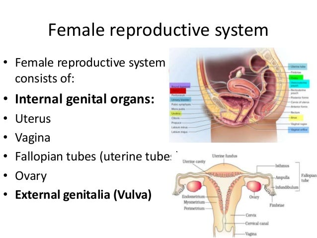 Female reproductive system • Female reproductive system consists of: • Internal genital organs: • Uterus • Vagina • Fallop...