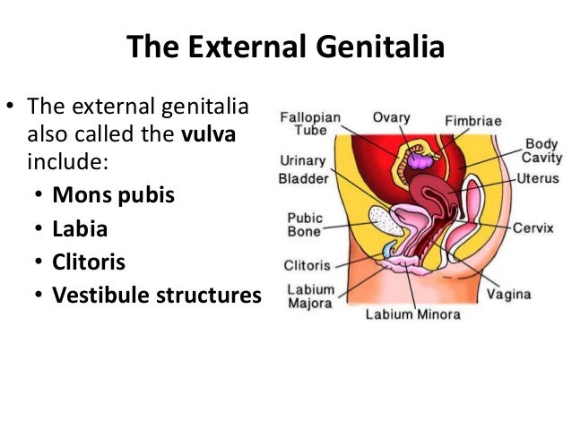 The External Genitalia • Just anterior to the vestibule is the clitoris • This small protruding structure, composed of ere...
