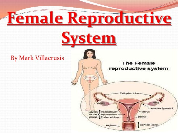 Female Reproductive      SystemBy Mark Villacrusis