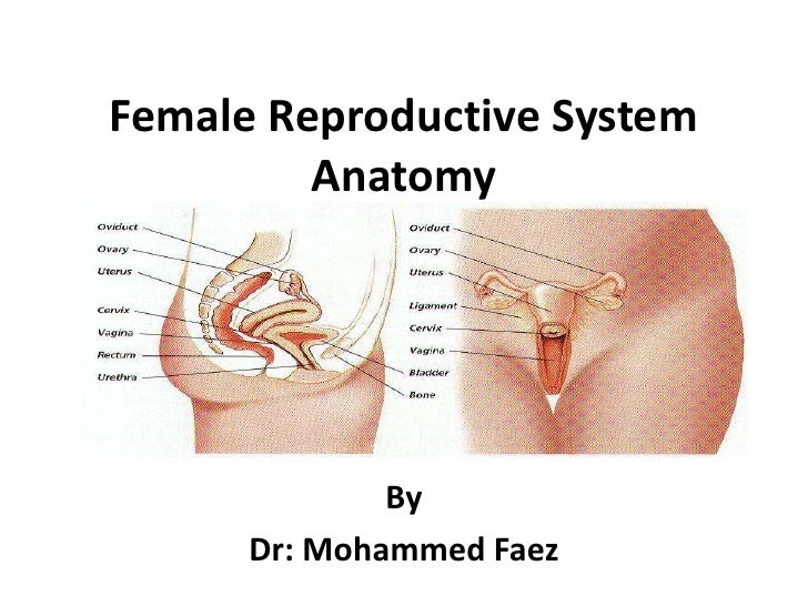 Female Reproductive System Anatomy<br />By <br />Dr: Mohammed Faez<br />