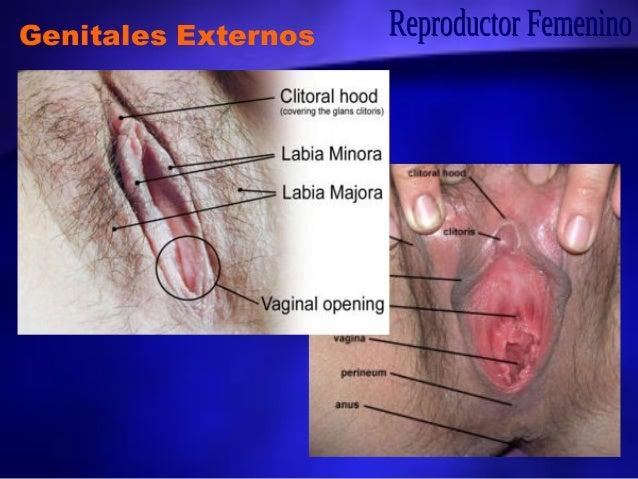 Aparato Reproductor Femenino Anatomía Microscópica II