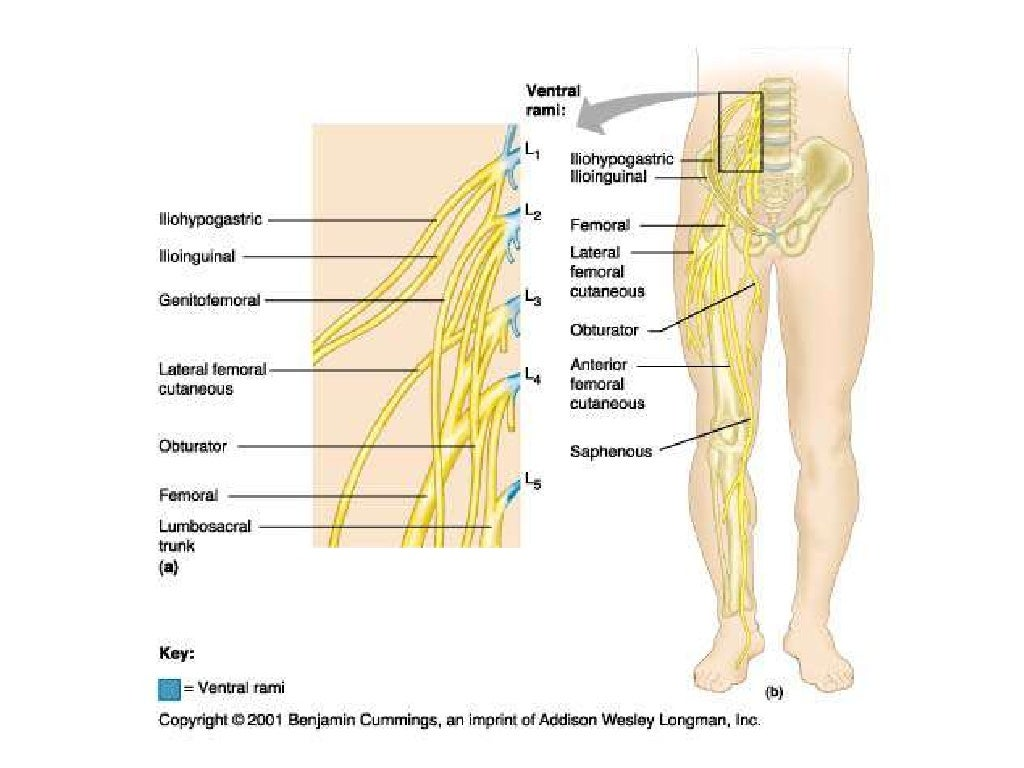 femoral nerve anatomy pictures and information - HD 1024×768
