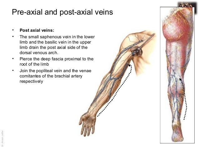 femoral triangle and venous drainage in the lower limg, Cephalic Vein