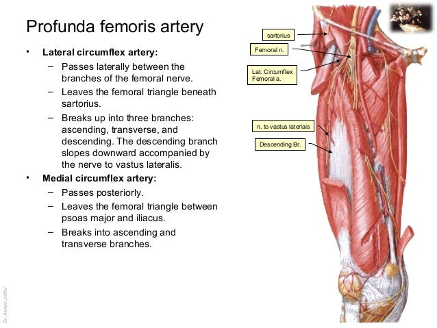 femoral triangle and venous drainage in the lower limg, Muscles