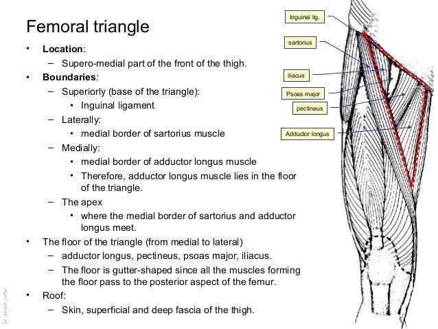 Femoral region anatomy