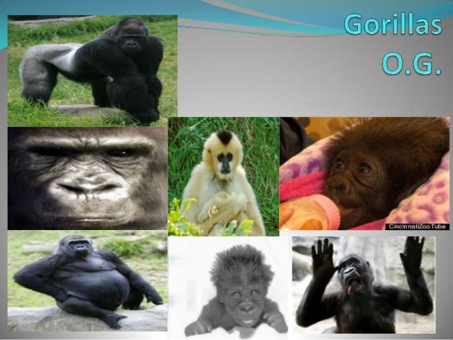 Five facts The average gorilla family consists of 5 to 10 members. Their habit is forests and mountain forests. Gorilla...