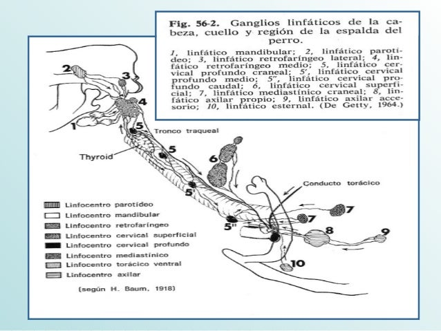 Sistema Linfatico Equino y Canino