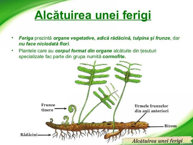 Ferigi 638 Cb Structura Plante