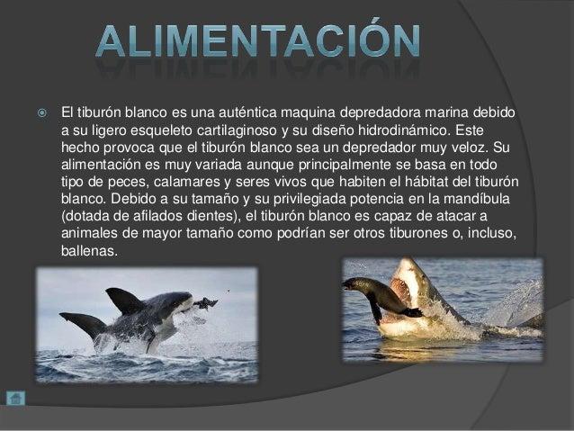  El tiburón blanco es una auténtica maquina depredadora marina debido a su ligero esqueleto cartilaginoso y su diseño hid...