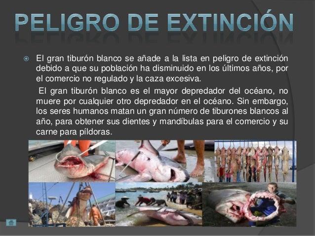  El gran tiburón blanco se añade a la lista en peligro de extinción debido a que su población ha disminuido en los último...