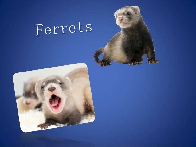Ferrets are small, warm-blooded mammals in the weasel family . They are long in body with shortlegs. Ferrets are adorable ...