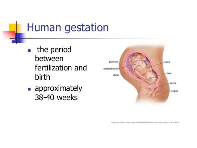 Fertilization early embryo dev't