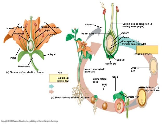 flower and pollen tube essay example It grows a thin pollen tube towards the female gametophyte  the flower is an example of a modified leaf  we will write a custom essay sample on three major .