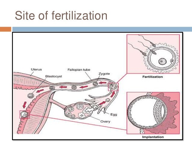 the process of conception The process of fertilization and the formation of human flv youtube mpeg1video moment of conception: egg fertilized live on tv reblopcom.