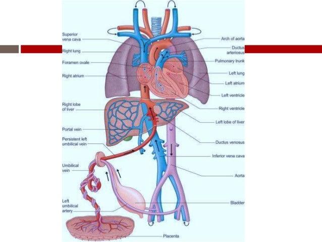 Normal Fetal circulation