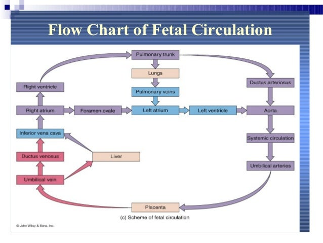 fetalcirculation rh slideshare net schematic diagram of fetal blood circulation schematic diagram of fetal blood circulation