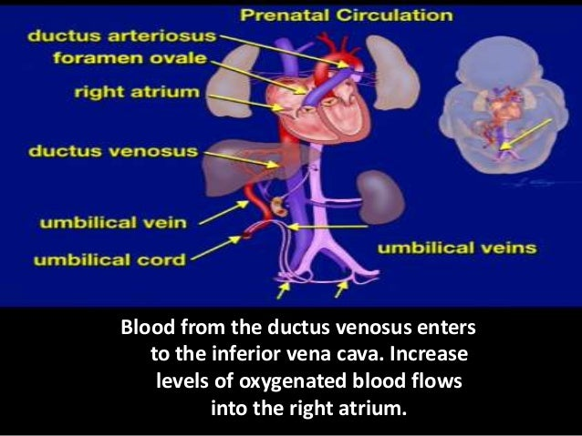 In adults, the increase pressure of the right atrium causes the tricuspid valve to open thus, draining the blood into the ...