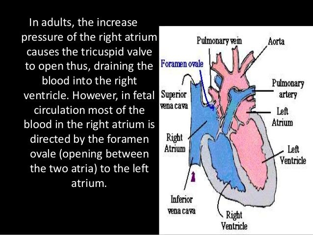 The portion of the blood that drained into the right ventricle passes to the pulmonary artery.