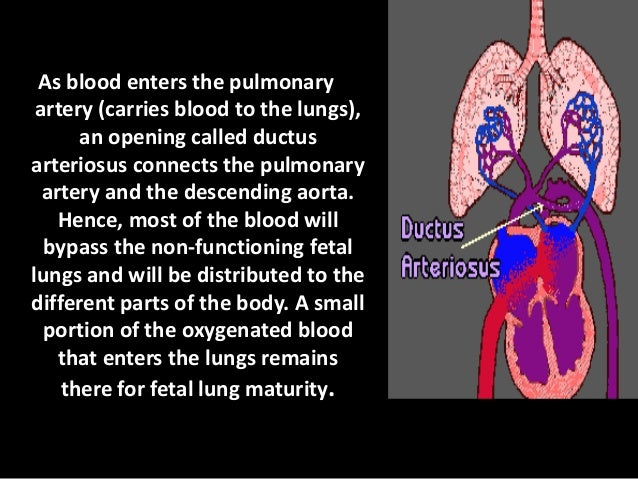 The umbilical arteries then carry the non- oxygenated blood away from the heart to the placenta for oxygenation.