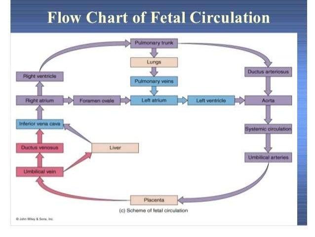 Fetal Circulation Pdf