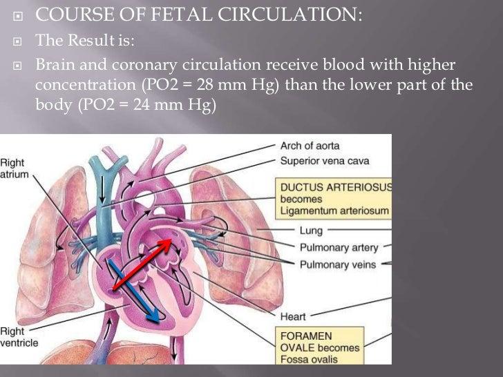    FETAL CIRCULATION: The pathway:    Placenta  Oxygenated blood  Umbilical vein                  Hepatic circulation  ...