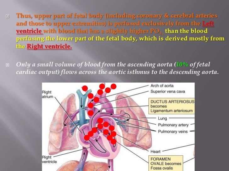    Thus, upper part of fetal body (including coronary & cerebral arteries    and those to upper extremities) is perfused ...
