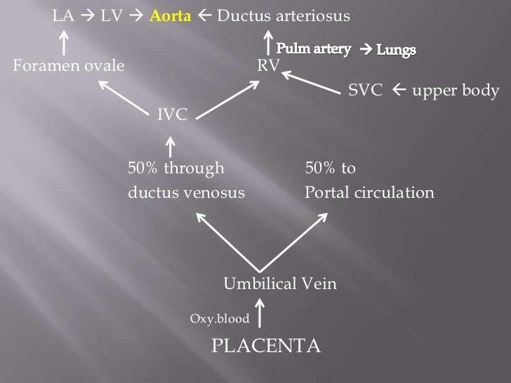 AortaDeoxygenated   blood      Descending aorta      Abdominal aorta   Common iliac artery    Umbilical arteries       PLA...
