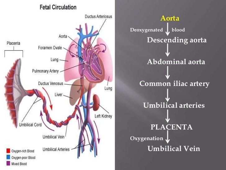Fetal circulation.. Dr.Padmesh