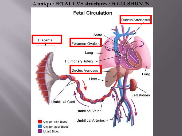 Fetal Circulation Drdmesh