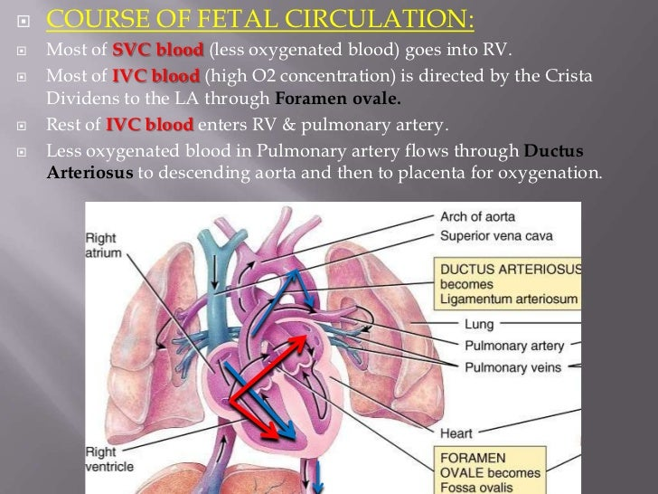    COURSE OF FETAL CIRCULATION:   The Result is:   Brain and coronary circulation receive blood with higher    concentr...