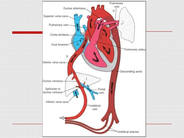 Fetal heart circulation ligamentum teres 10 ccuart Image collections