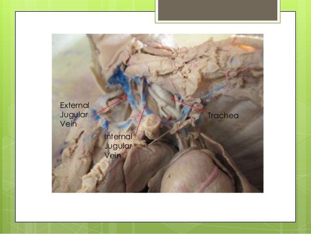 fetal pig disection