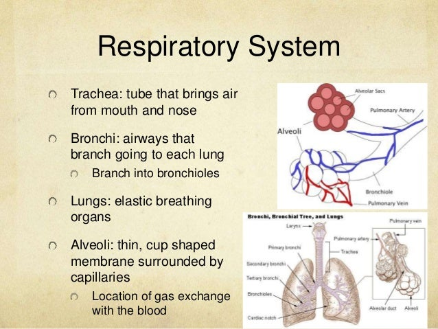 dissection of the mammalian respiratory system Evolution of the respiratory system amy mammalian respiratory systems rely on a single large muscle at the bibliography anatomy of the respiratory system.