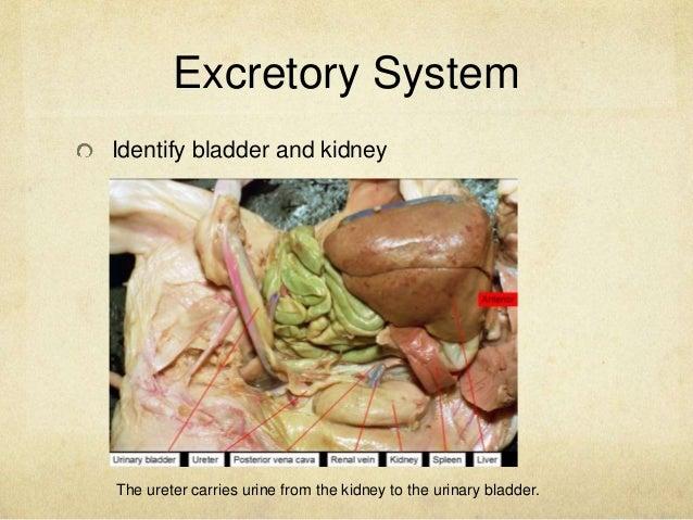 fetal pig bladder