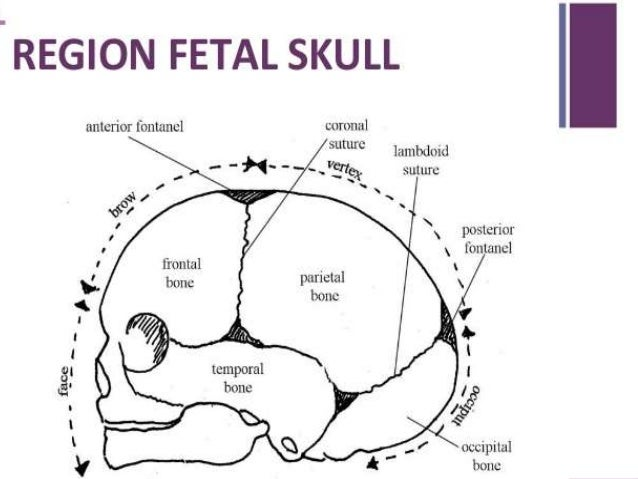 fetal skull diagram  slideshare
