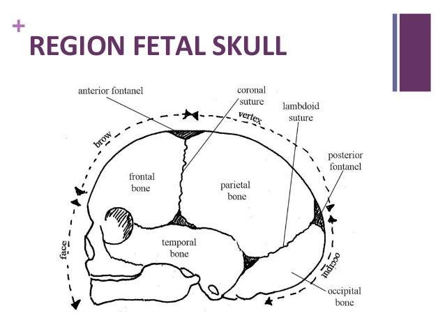 fetal skull