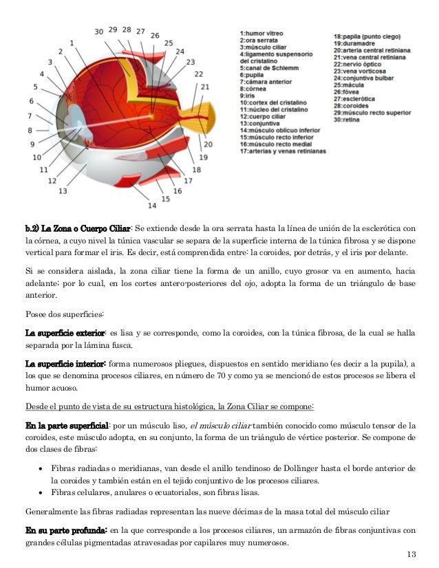 Vistoso Anatomía Músculo Ciliar Inspiración - Anatomía de Las ...