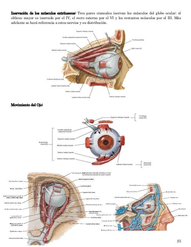 Tema # 4 Cavidad Orbitaria, Anatomia del Globo ocular y sus anexos