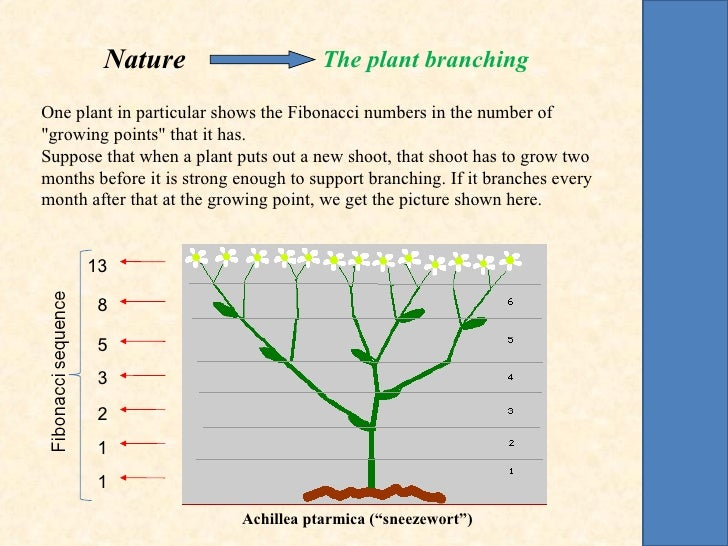 """Nature                        The plant branchingOne plant in particular shows the Fibonacci numbers in the number of""""grow..."""