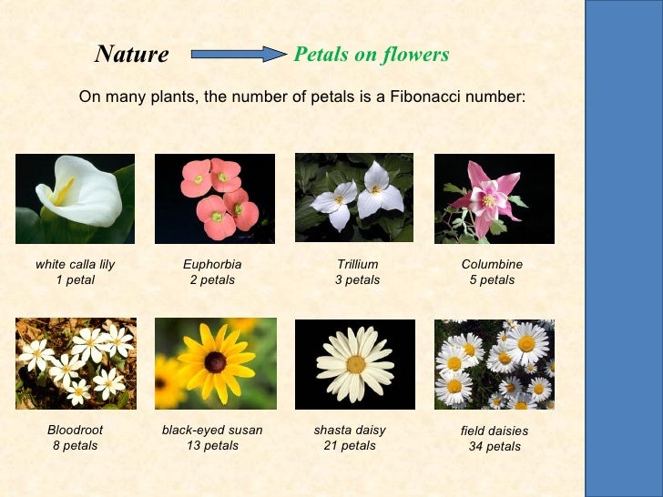 Nature                     Petals on flowers        On many plants, the number of petals is a Fibonacci number:white calla...