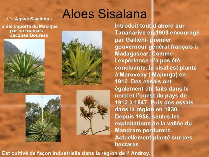 L'« Agave Sisalana »     Aloes Sisalanaa été importé du Mexique                       Introduit tout d'abord sur    par un...