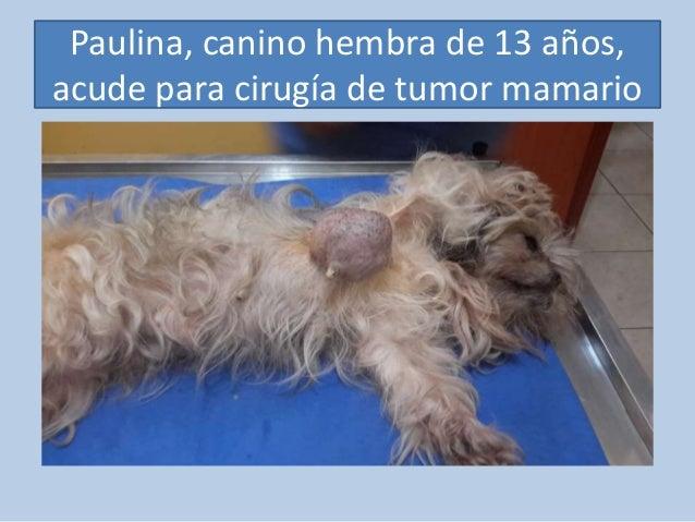 Paulina, canino hembra de 13 años, acude para cirugía de tumor mamario