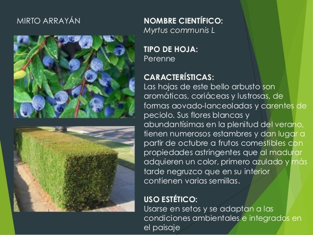 Fichas de vegetaci n for Plantas arbustos de hoja perenne