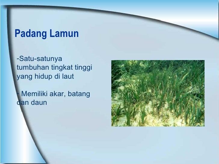 Padang Lamun <ul><li>Satu-satunya tumbuhan tingkat tinggi yang hidup di laut </li></ul><ul><li>Memiliki akar, batang dan d...