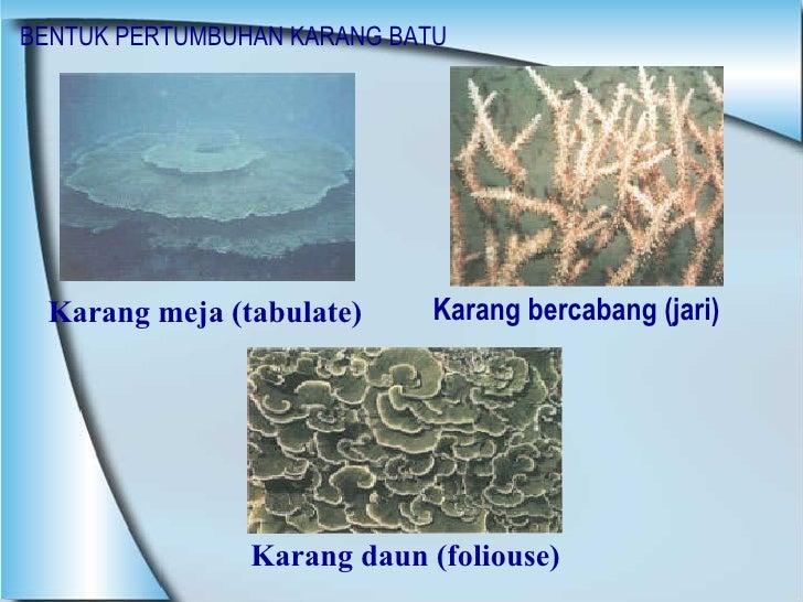 BENTUK PERTUMBUHAN KARANG BATU <ul><li>Karang bercabang (jari) </li></ul>Karang daun (foliouse) Karang meja (tabulate)