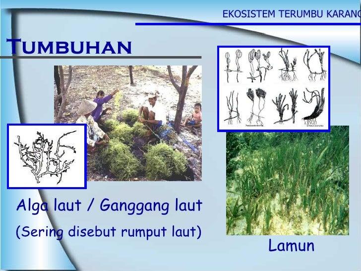 EKOSISTEM TERUMBU KARANG Tumbuhan Alga laut / Ganggang laut (Sering disebut rumput laut) Lamun