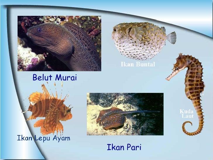 Belut Murai  Ikan Pari